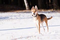 Straathond van windhond en Duitse herder royalty-vrije stock afbeeldingen