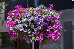 Straatlantaarn met de kleurrijke hangende manden van de petuniabloem stock afbeelding