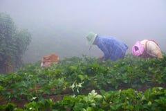 Straberries della scelta degli agricoltori Fotografia Stock