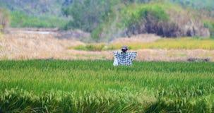 Strach na wróble po środku ryżowego pola w Panama zdjęcia stock