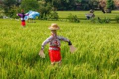 Strach na wróble przy ryżowym polem krajobrazu wiejskiego bali Indonesia zdjęcie stock