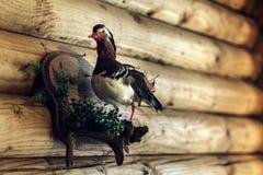 Strach na wróble ptak na ścianie w hotelu obrazy royalty free