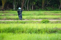 Strach na wróble w ryżu polu Tajlandia obrazy stock