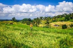 Strach na wr?ble w Jatiluwih irlandczyka pola ry?owych tarasach, Bali, Indonezja fotografia stock