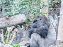 Strachu goryl siedzi tutaj i czekać na ciebie obrazy stock
