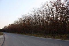 Strada ad una foresta del pino Immagine Stock