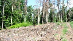 Strada attraverso gli alberi morti Alberi attaccati dello scarabeo di corteccia dell'abete rosso video d archivio