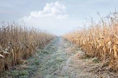 Strada attraverso il campo di cereale Fotografia Stock Libera da Diritti