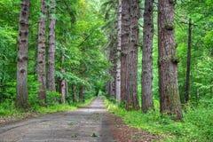 Strada attraverso la vecchia foresta del larice Fotografia Stock Libera da Diritti