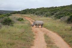 Strada bianca cornuta lunga di didascalia di rinoceronte Fotografia Stock Libera da Diritti