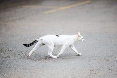 Strada bianca dell'incrocio del gatto Fotografia Stock
