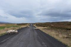 Strada bloccata dalle pecore testarde immagini stock libere da diritti