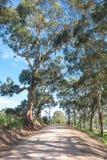 Strada campestre in Australia rurale, con i vecchi alberi di gomma alti Fotografie Stock Libere da Diritti
