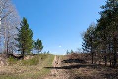 Strada campestre con i pini sul fondo del cielo blu Immagine Stock