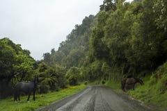 Strada campestre con paesaggio sbalorditivo con la foresta ed i cavalli selvaggii nebbiosi Immagine Stock