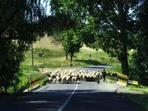 Strada campestre dell'incrocio delle pecore Fotografia Stock Libera da Diritti