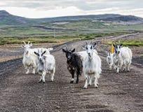 Strada campestre delle capre Islanda Fotografia Stock