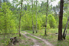 Strada che va nella foresta Fotografia Stock