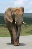 Strada dell'incrocio del toro dell'elefante Fotografia Stock Libera da Diritti