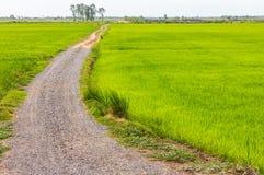 Strada di pietra della ghiaia con riso Fotografia Stock Libera da Diritti