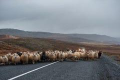 Strada e pecore vuote in Islanda Natura selvaggia Agricoltore locale Car nel fondo Immagini Stock