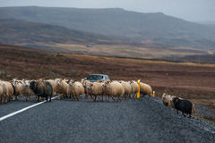 Strada e pecore vuote in Islanda Natura selvaggia Agricoltore locale Car nel fondo Fotografia Stock Libera da Diritti