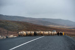 Strada e pecore vuote in Islanda Natura selvaggia Agricoltore locale Car nel fondo Immagine Stock Libera da Diritti