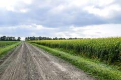 Strada in giacimento del seme di ravizzone e cinghia della foresta per protezione dal vento Fotografie Stock