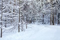 Strada innevata nella foresta di conifere di inverno fotografia stock