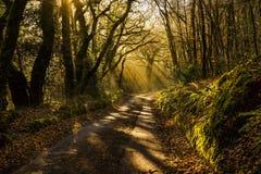 Strada nebbiosa attraverso il legno, callington, Cornovaglia, Regno Unito del terreno boscoso Fotografia Stock Libera da Diritti