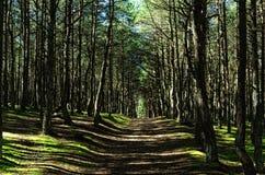 """Strada nel boschetto di woods foresta del  del """"Dancingâ€, regione di Kaliningrad, Russia Fotografia Stock Libera da Diritti"""