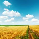 Strada nel campo dorato con il raccolto sotto cielo blu Immagini Stock