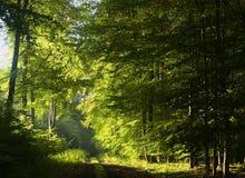 Strada nella foresta del faggio fotografia stock