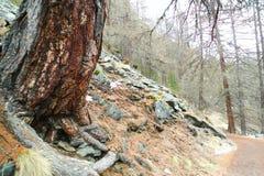 Strada non asfaltata attraverso la foresta di conifere in altopiani immagine stock libera da diritti