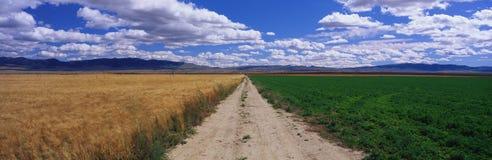 Strada non asfaltata con i campi dell'erba medica e del frumento Fotografie Stock