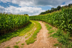 Strada non asfaltata e campo di grano in Carroll County rurale, Maryland immagine stock