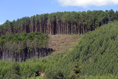 Strada non asfaltata fiancheggiata piantando eucalyptus e pino immagini stock