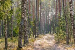 Strada non asfaltata nella foresta mista in molla in anticipo immagine stock