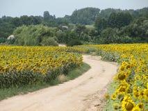 Strada piena di sole del girasole in paese Fotografia Stock Libera da Diritti