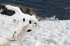 Strada principale del pinguino Fotografie Stock Libere da Diritti