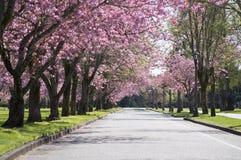 Strada rosa dell'albero del fiore Immagine Stock