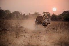 Strada rurale birmana, due mucche bianche che tirano un carretto di legno Fotografia Stock