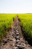 Strada rurale del fango attraverso i giacimenti verdi del riso Fotografia Stock