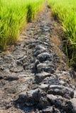 Strada rurale del fango attraverso i giacimenti verdi del riso Immagine Stock Libera da Diritti