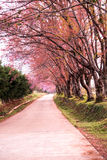Strada a sakura, Chiang Mai Fotografia Stock