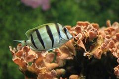 Straffångesurgeonfish Fotografering för Bildbyråer