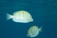 Strafgefangene Surgeonfish Lizenzfreie Stockfotos