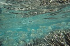 Strafgefangene Surgeonfish Acanthurus triostegus Lizenzfreie Stockfotos