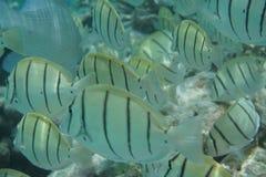 Strafgefangene Surgeonfish Acanthurus triostegus Stockfotografie