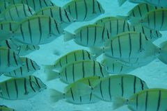 Strafgefangene Surgeonfish Acanthurus triostegus Stockbild